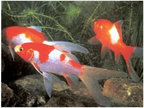 tres pecesitos